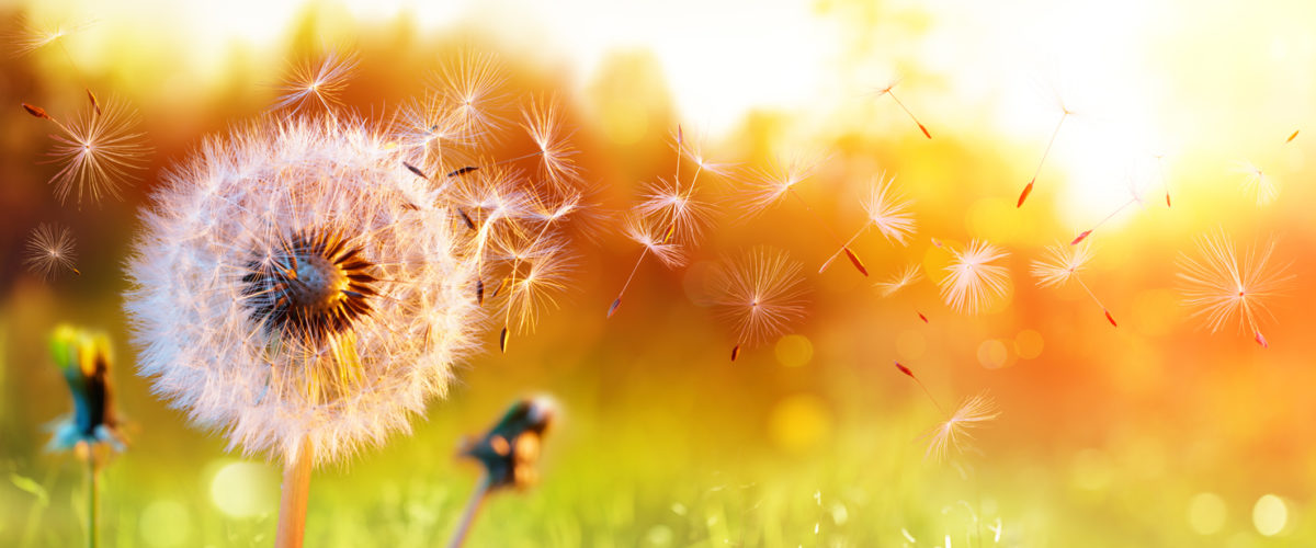 Blowball from a dandelion scattering it seeds in the air over a field at sunset